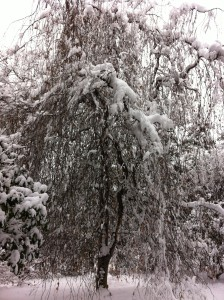 wider tree in snow