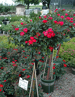 Knock-Out-Rose-Tree