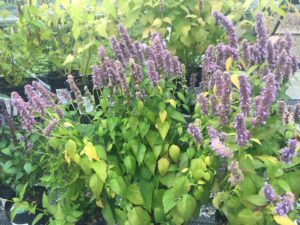 Perennials Sale! @ Plumline Nursery